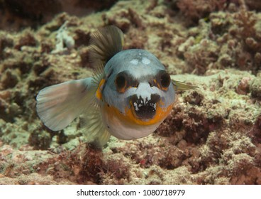 Blackspotted puffer( Arothron nigropunctatus ) swimming over coral reef of Bali, Indonesia, face to face.