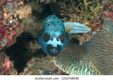 Blackspotted puffer( Arothron nigropunctatus ) swimming over coral reef of Bali, Indonesia	, face to face.