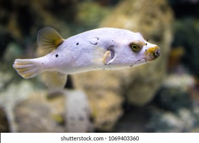 Blackspotted puffer, Dog-faced puffer, Brown puffer