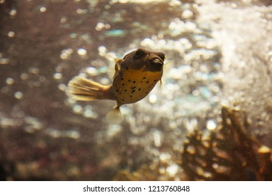 Blackspotted puffer fish or dog-faced puffer (Arothron Nigropunctatus) is a small tropical marine fish. It has oval spherical body with no scales, no lateral line. Dorsal and anal fin is symmetric