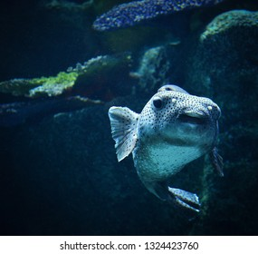 Blackspotted puffer fish swimming marine life in the ocean / Dog-faced puffer