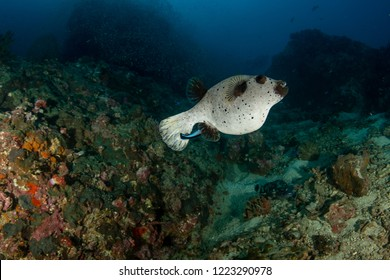 Blackspotted puffer also known as the dog-faced puffer