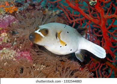 Blackspotted Puffer, also known as the Dog-faced Puffer, Arothron nigropunctatus, swimming with soft corals and red sea fans. Uepi, Solomon Islands. Solomon Sea, Pacific Ocean
