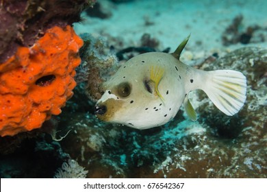 Blackspotted Pufferfish (Arothron nigropunctatus) on a coral reef