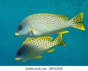 Blackspotted rubberlips (sweetlips) tropical fishes in the blue sea underwater
