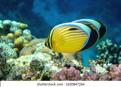 Blacktail Butterflyfish swimming around fire corals.