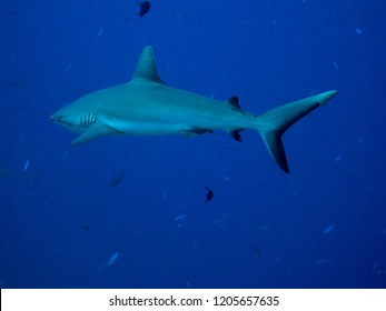 Blacktail reef shark swimming in the blue water ocean. Republic of Palau.
