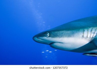 Blacktail reef shark swimming in the blue ocean. Yap island, Micronesia