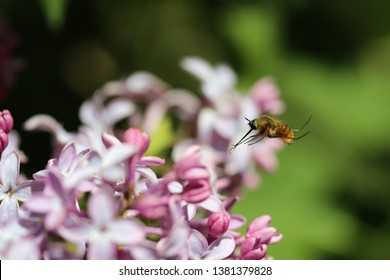 Black-Tailed Bee Fly Hovering over a Blossoming Lilac Flower
