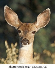 Black-tailed deer Bucks Does Fawns Northern California Colusa County
