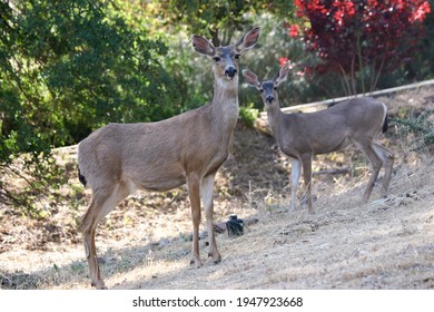 Black-tailed deer in a California garden