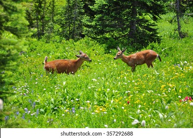 Black-tailed deer at Mount Rainier National Park, Oregon, U.S.A.