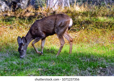 The black-tailed doe grazes in a meadow in the Topanga Canyon. California.