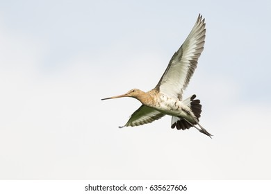 Black-tailed godwit in flight in the Netherlands