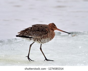 The black-tailed godwit (Limosa limosa) in Danube Delta during winter