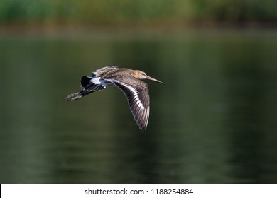 Black-tailed Godwit (Limosa limosa). Wild bird in a natural habitat. Wildlife Photography.
