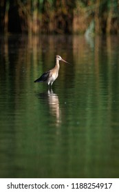 Black-tailed Godwit (Limosa limosa). Wild bird in a natural habitat. Wildlife Photography.