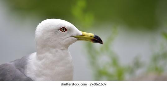 Black-tailed Gull