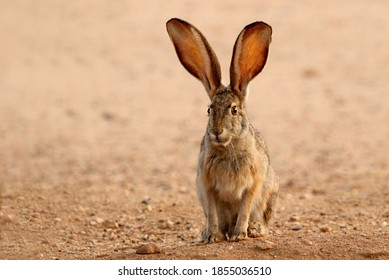 Black-tailed Jackrabbit with big ears watching birds eat seed I just put down