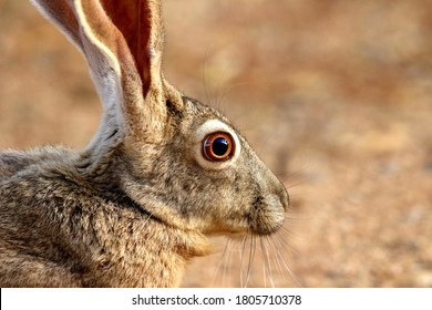 Black-tailed Jackrabbit close-up of face in the desert of Arizona