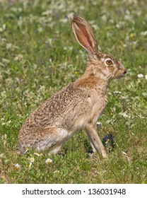 A Black-tailed Jackrabbit (Lepus californicus), posing in a field of spring wildflowers in west central Texas.