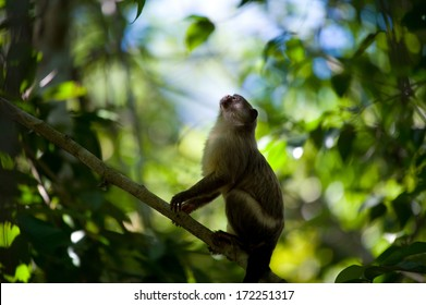 A Black-tailed marmoset looks up in praying position in a Brazilian Pantanal forest