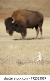 A black-tailed prairie dog with Bison