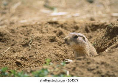 Black-tailed Prairie Dog (Cynomys ludovicianus) looking out from its burrow