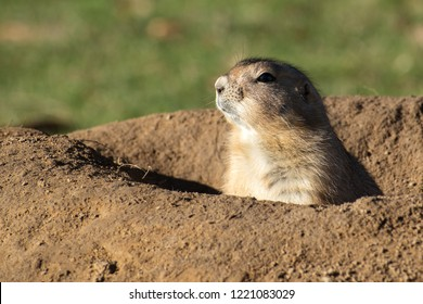 Black-Tailed Prairie Dog (Cynomys ludovicianus) in its burrow, copy space, selected focus