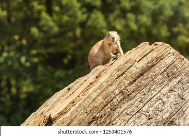 Black-tailed prairie dog (Cynomys ludovicianus) sitting on old wood log, looking into camere, blurred dark trees in background.