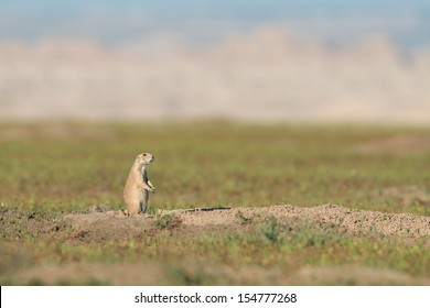 Black-tailed prairie dog (Cynomys ludovicianus) at Badlands National Park in South Dakota