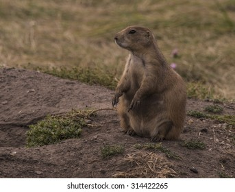 Black-tailed Prairie Dog (Cynomys ludovicianus), Custer State Park, Black Hills, South Dakota