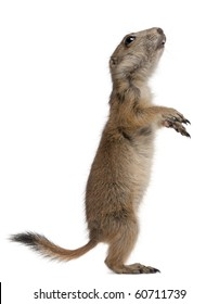 Black-tailed prairie dog, Cynomys ludovicianus, standing on hind legs in front of white background