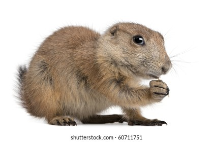 Black-tailed prairie dog, Cynomys ludovicianus, sitting in front of white background