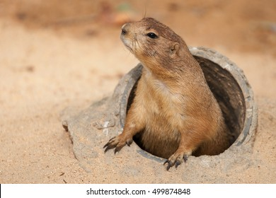 Black-Tailed Prairie Dog emerging from his burrow.