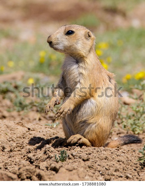 Black-tailed Prairie Dog in southwestern Oklahoma
