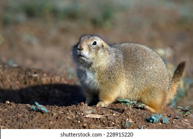 Black-tailed Prairie Dog in West Texas