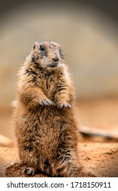 Black-tailed prairie dog in a zoo