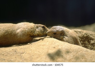 Black-tailed Prairie Dogs (Cynomys ludovicianus) exhibiting recognition and identification behavior