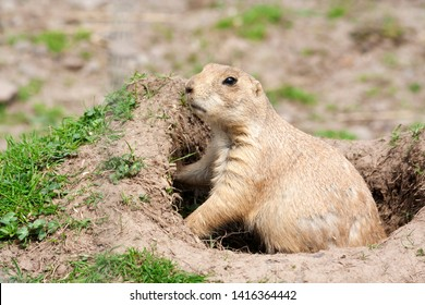 Black-tailed prairie dogs - Cynomys ludovicianus at Comrie Wildlife Park, Perthshire, Scotland