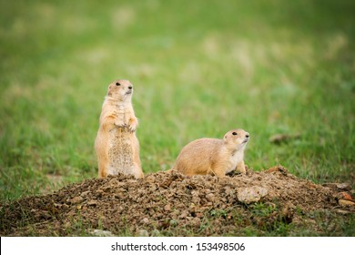 Black-tailed Prairie Dogs, Grasslands National Park Saskatchewan Canada
