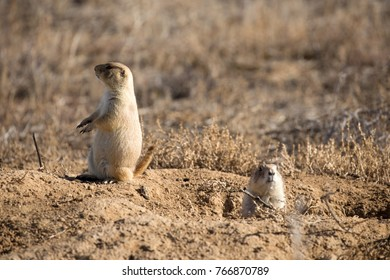 Black-tailed Prairie Dogs at Rocky Mountain Arsenal, Denver, CO