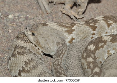 Black-tailed rattlesnake from the Chihuahuan Desert of Coahuila, Mexico