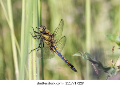 The black-tailed skimmer (Orthetrum cancellatum) is a dragonfly