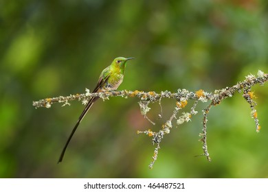 Black-tailed Trainbearer, Lesbia victoriae, long tailed hummingbird perched on mossy twig against green blurred colorful background. Mounatins of  North Colombia.