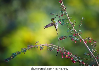 Black-tailed Trainbearer, Lesbia victoriae, long tailed hummingbird feeding on tiny red flowers against blurred green background. Travelling North Colombia.