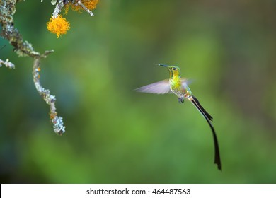 Black-tailed Trainbearer, Lesbia victoriae, long tailed hummingbird hovering in the air next to mossy twig against blurred colorful background. North Colombia.
