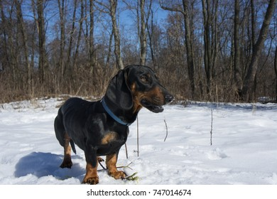 Black-tanted dachshund gnaws a stick