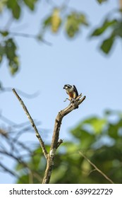 Black-thighed falconet eating bird in the nature.