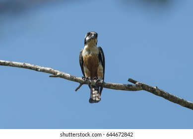 Black-thighed Falconet the smallest falcon in the world